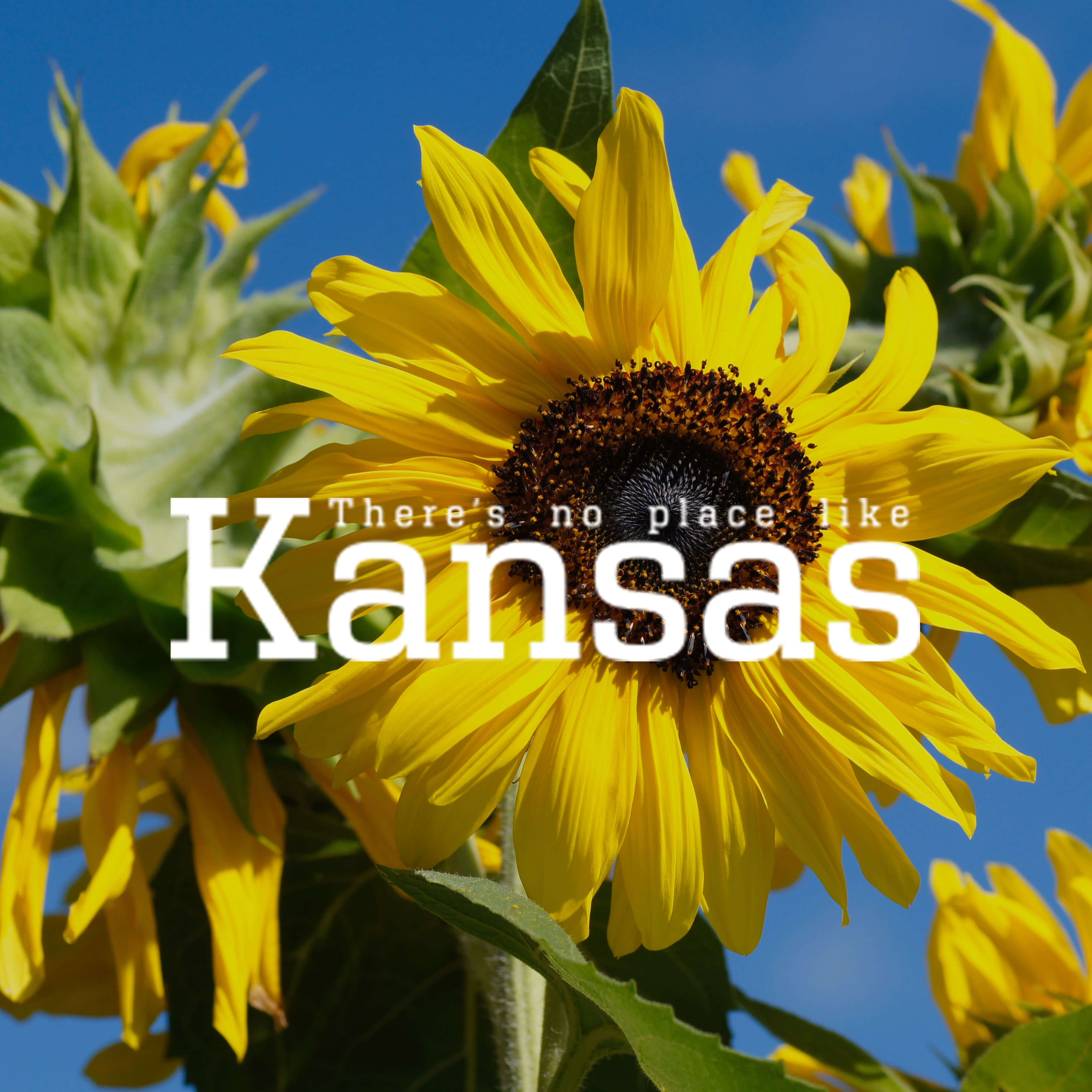 Sunflowers in Kansas with Kansas logo over top